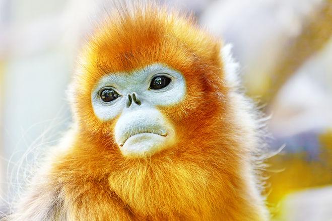 обезьяна огненная