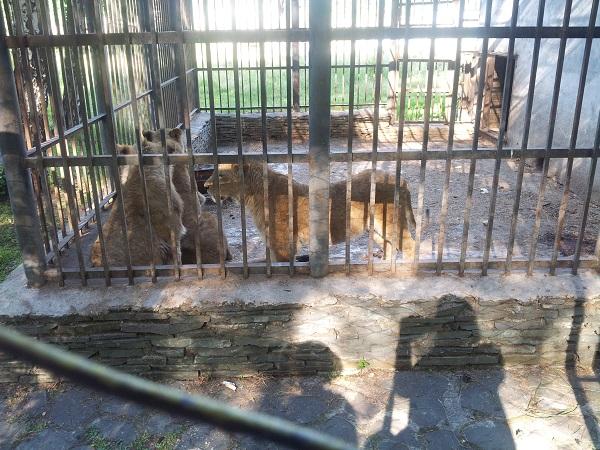 львы в клетке