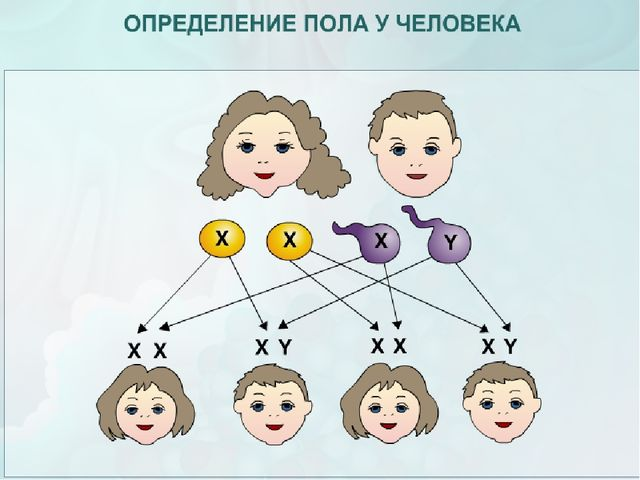 пол ребенка хромосомы