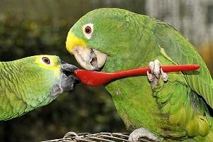 попугаи ребенку